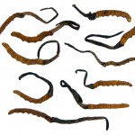 Cordyceps Sinensis Medicinal Mushroom